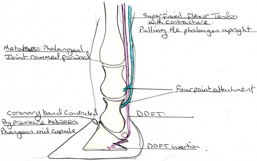 lax tendon for vet | Page 10 | Farriers Forum